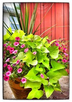 100 Container Garden Ideas For Arkansas, Texas, Tennessee and The South, Part 2 Jonesboro | Memphis | South Lawn Care Landscape Jonesboro Garden Flowers Container Gardens Best Flowers For Container Gardens BadAsFlowers Arkansas Garden Annuals