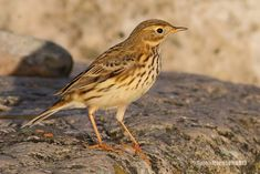 This Meadow Pipit was photographed recently on the Cobb at Lyme Regis, Dorset