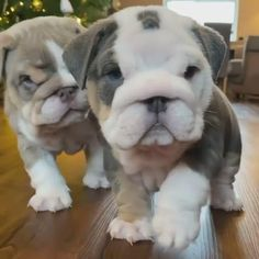 30 Cute Baby Animals That Will Steal Your Heart - Animals Comparison Cute Bulldog Puppies, Super Cute Puppies, Cute Bulldogs, English Bulldog Puppies, Cute Baby Dogs, Cute Little Puppies, Super Cute Animals, Cute Dogs And Puppies, Baby Puppies