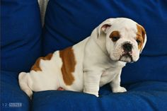 Mr Max - one of Bella's pups. Handsome isn't he ?! He's going to be quite the bully one day