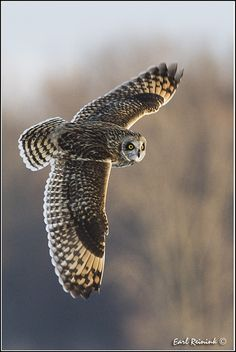 ~~Short-eared Owl by Earl Reinink~~