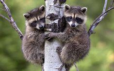 Raccoon babies - (#150482) - High Quality and Resolution ...