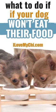 There are different reasons why your dog won't eat. This post will share what you can do to get them eating again. Chihuahua Facts, Cute Chihuahua, Chihuahua Puppies, Chihuahuas, Big Dog Little Dog, Big Dogs, My Puppy Wont Eat, Dog Nutrition, Chihuahua