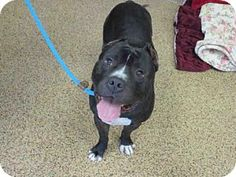 Pit Bull Terrier Dog for adoption in Springfield, Massachusetts - COSTELLO