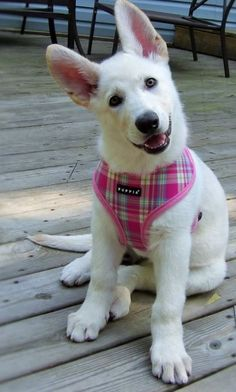 Looks like a white version of my pup!!!!