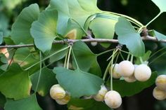 Why Ginkgo Biloba is the world's oldest and most effective memory boosting herb. Dosages, reviews, uses for memory, benefits, and Ginkgo Tree side effects.