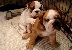 . Bulldog Breeds, Bulldog Puppies, Cute Puppies, Dogs And Puppies, Doggies, Animals And Pets, Cute Animals, Cute Dogs Images, Cute Bulldogs