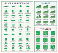 Wonderful diagram of leaf shapes, their edges and veination patterns