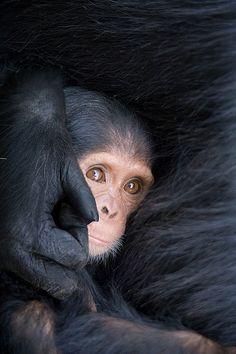 Six Month Old Chimpanzee