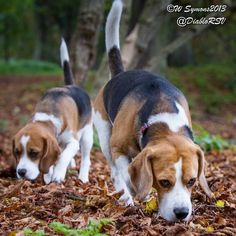 My lovely beagles doing what they do best