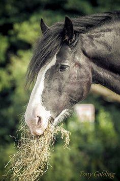 Draft horse - Shire horse