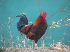 rooster crows | SheWoodTime...: Rooster Crows...