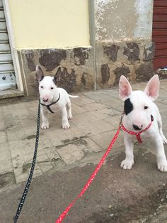Bull Terrier Puppy - Madre in Sardegna (Italy)