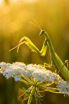 Praying Mantis resting on Queen Ann's Lace plant. - Nature - by Padika