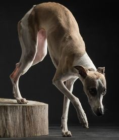 Whippet Photographer:Paul Croes
