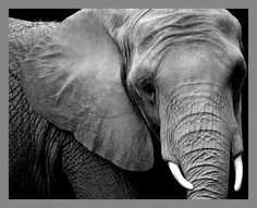Black And White Baby Elephant Photography Baby elephant photography Elephant Black And White, Black And White Baby, Large Black, Elephas Maximus, Elephant Photography, White Photography, Ivory Trade, Water Fairy, Bird People