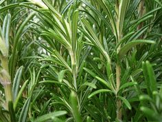 Another reason to grow rosemary: it's scent can improve cognitive performance.