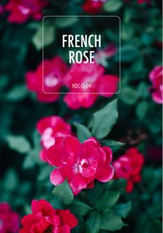 A rose by any other name wouldn't look as sweet as this stunning paint shade. French Rose is sure to inspire you with ideas on how to incorporate this warm-toned hue in your space. Behr Paint Colors, Paint Shades, Red Rooms, Future House, Hue, Inspire, French, Warm, Space