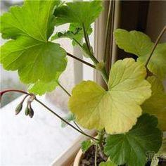 Что делать, если комнатные растения желтеют?