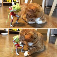「ちょっ、タンマ、タンマ!」 #猫 #茶トラ #cat