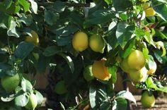 No Fruit On Lemon Trees: How Can I Get My Lemon Tree To Bear Fruit