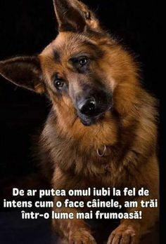 Wicked Training Your German Shepherd Dog Ideas. Mind Blowing Training Your German Shepherd Dog Ideas. Big German Shepherd, German Shepherd Puppies, Beautiful Dogs, Animals Beautiful, Majestic Animals, I Love Dogs, Cute Dogs, Doge, Dog Pictures