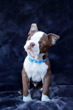 Red Boston Terrier Puppy http://ift.tt/2gSiS1M