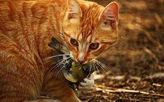 Instynkt łowiecki u kotów