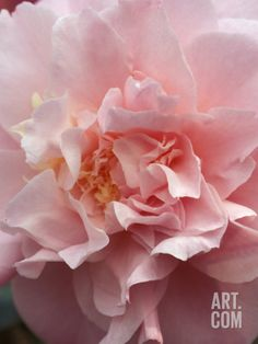 Camellia (Annie Wylam), Shrub, Close-up of Pale Pink Flower Photographic Print by Mark Bolton at Art.com