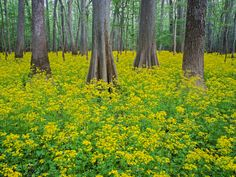 Picture of cypress and water tupelo trees in Congaree National Park, South Carolina