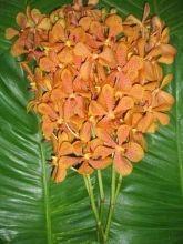 Orange Mokara Orchid #MokaraOrchid