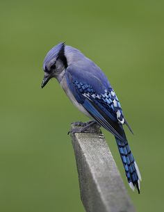 Blue Jay - their song is annoying, but they are a beautiful bird.
