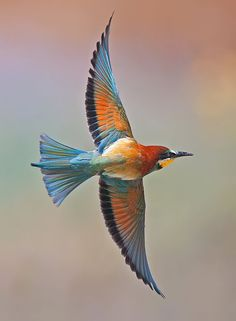 Bee-eater (Meropidae) - Parachute wings by Yaki Zander Kinds Of Birds, All Birds, Love Birds, Exotic Birds, Colorful Birds, Pretty Birds, Beautiful Birds, Photo Animaliere, Bee Eater
