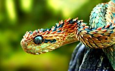 African bush viper (Atheris chlorechis) is a venomous viper species found only in the forests of West Africa. Description from pinterest.com. I searched for this on bing.com/images