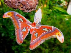 beautiful moths | Atlas moth ( Attacus atlas ) at the Butterfly house in St. Louis ...
