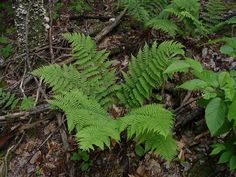 Fern to be used as ground cover.  dryopteris marginalis