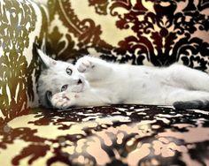 Bella Kitten white kitten on damask chair 8x10 by briberrie, $25.00
