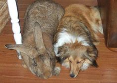 Say hello to Sandy, one of the largest known Flemish rabbits, hanging with her friend, a Sheltie dog.