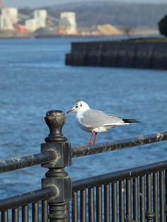 A sea gull on Chatham Waterfront [shared]