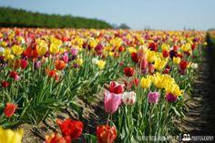Woodburn Tulip Festival 2014 - Wooden Shoe Farm, Oregon