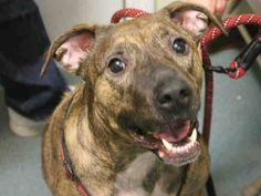 Brooklyn Center BROOKLYN - A1029164 SPAYED FEMALE, BR BRINDLE, AM PIT BULL TER MIX, 3 yrs OWNER SUR - EVALUATE, HOLD FOR ID Reason MOVE2PRIVA Intake condition EXAM REQ Intake Date 03/01/2015 https://www.facebook.com/Urgentdeathrowdogs/photos/pb.152876678058553.-2207520000.1425247429./970191376327075/?type=3&theater