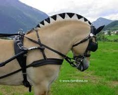 Norwegian Fjord Horse has a unique coloration in the mane