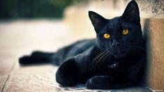 elegante gatto nero black cat