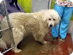 8/11/14 Bloomington, IL - Great Pyrenees. Meet Lucy, a dog for adoption. http://www.adoptapet.com/pet/11344477-bloomington-illinois-great-pyrenees