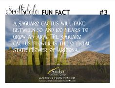 A Saguaro cactus will take   between 50 and 100 years to grow an arm.  The Saguaro   cactus flower is the official state flower of Arizona.