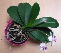 Les racines d'orchidée (phaellenopsis) débordent du pot : doit-on s'inquiéter ? Rustica.fr vous répond !