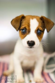 Jack Russell Terrier - A Dog in One Pack - Champion Dogs Perros Jack Russell, Jack Russell Puppies, Mini Jack Russell, Jack Russell Terriers, Cute Puppies, Dogs And Puppies, Cute Dogs, Maltese Puppies, Doggies