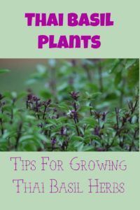 Thai Basil Plants: Tips For Growing Thai Basil Herbs – Nature And Society Magazine