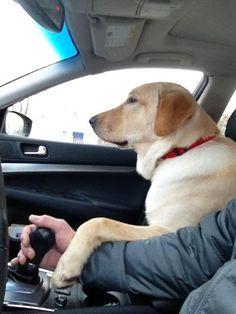 Labrador Retriever co-pilot Lab Puppies, Cute Puppies, Cute Dogs, Funny Dogs, Funny Animals, Cute Animals, Golden Retrievers, Labrador Retrievers, Dogs Trust