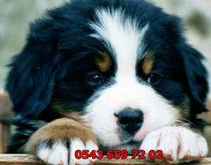 satılık yavru köpekler (Pet Station): satılık bernese yavruları 0543 659 72 02